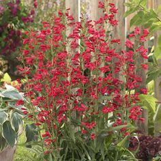 Penstemon 'Riding Hood Red'. Penstemons can come in many colors and can be drought-and-frost-tolerant. **DROUGHT**