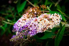 Buddleia Blueberry Cobbler Butterfly Bush Blueberry Cobbler, Butterfly Bush, Deer, Plants, Plant, Planting, Planets, Reindeer