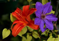 Orange Lily and Purple Clematis, early morning