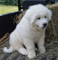Great Pyrenees puppy-looks just like Snowball!
