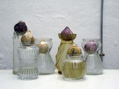 Bulbes de jacinthes sur vases de forçage