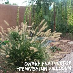 """Pennisetum villosum, Dwarf Feathertop. I love the playfulness of this grass. It makes for a great accent grass within a perennial garden. Most of the year it's 12"""" high by 12"""" wide, but in October when the seed heads come out it sends up fuzzy white seed heads reaching 18"""" high. Feathertop grass grows in the sun and does well in most soils.  Care and maintenance is like most grasses, trim plants down to 6"""" or lower in February. Water plants deeply 2x a month in hot weather and once monthly…"""