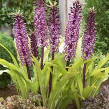 Eucomis 'Twinkle Stars' Dark burgundy flower stalks contrast nicely with bright chartreuse green foliage. Bears purple florets with yellow stamens that truly 'sparkle' in the sunshine. Simply stunning when paired with darker leaved varieties. Twinkle Star, Twinkle Twinkle, Bulb Flowers, Love Flowers, Dozen Red Roses, Summer Bulbs, Burgundy Flowers, Ornamental Plants, Dahlia