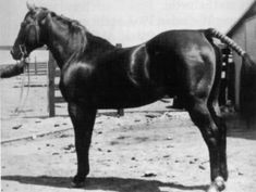 OKLAHOMA STAR  b. H, QUARTER HORSE, 1915 	Color: b Height: 14.2  AQHA #0000006  AQHA#0000006 Breeder: Tommy Moore, Mulhall, OK.Owner @ reg.: Ronald S. Mason, Nowata, OK. Sire of 119 AQHA registered foals, 8 Performers including Sizzler, Race ROM, and 17 ROM producing daughters. AQHA Hall of Fame(1992). Since AQHA issued him the number P-6, NFQHA awarded him a 100% foundation rating. Passed away in 1943.