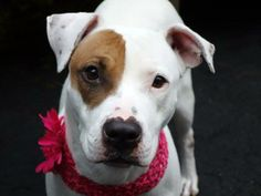 GONE - BE AT PEACE  11/30/13 Manhattan Center -P  ASIA  #A0985027  Female white & brown pit bull mix  3 YRS OWNER SUR  11/15/13   Asia is a sweet girl.  Quick hand moments may cause her to cower a bit.  Walks to the park are pleasant. Easy to manage, very accommodating & responsive to correction. Affectionate, likely housetrained, good w/ other dogs, & an easy fit into any household. She's patiently waiting her turn for the smallest pleasures, and so deserving of the largest