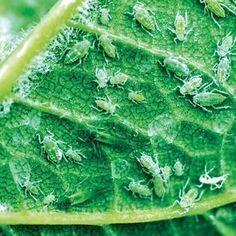 Nenechajte si zničiť úrodu voškami Lettuce, Aloe Vera, Plant Leaves, Flora, Gardening, Vegetables, Plants, Chemistry, Lawn And Garden