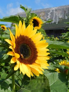 Sunflowers on the JP Parker Flowers Farm. #FlowerPower http://www.jpparkerco.com/our-farm/