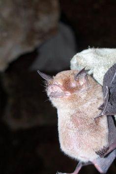 Murcielago BigotudoEl murciélago bigotudo de Paraguaná (Pteronotus paraguanensis) es uno de los dos murciélagos endémicos (es decir, que son únicos de un territorio determinado) de Venezuela, siendo la otra especie de murciélago endémica el narigudo enigmático o menor (Lonchorhina fernandezi). El hermoso bigotudo de Paraguaná es de ambientes xerófitos y, tal como su nombre lo indica, sólo se encuentra en las áreas boscosas de la península de Paraguaná, en el estado Falcón.