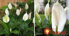 Jedna z najobľúbenejších izbových rastlín. Poznáte všetky jej tajomstvá?
