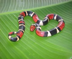 "The South American Coral Snake (Micrurus surinamensis), family Elapidae, Madre Selva Reserve,  Amazonian basin of Peru.  * Here we have another species of highly venomous South American coral snake that has ""red touching black"". The little rhyme I learned  doesn't work outside of the United States."