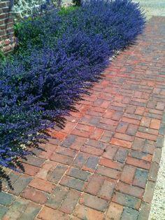 Nepeta Six Hills Giant edging a 'basket weave' brick path. Brick Path, Basket Weaving, Planting, Paths, Weave, Sidewalk, Garden, Outdoor, Design
