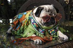 HIppy Pug #puglove #puglife #pugs
