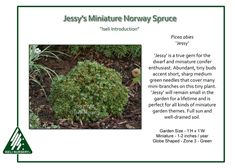 Jessy's Miniature Norway Spruce A seedling selection found in 1982, Picea abies 'Jessy' is a true gem for the dwarf conifer enthusiast. Abundant, itty-bitty buds accent a dense load of little needles…