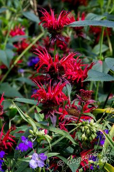 Bee balm Exotic Flowers, Tropical Flowers, Cut Flowers, Fresh Flowers, Wild Flowers, Seasonal Flowers, Save The Bees, Seed Pods, Flowers Perennials