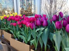 Boxed Tulips