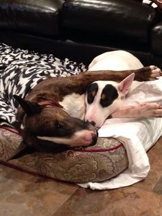 Edgar and Eleanor the #Bullterriers waiting for breakfast. #English #Bull…