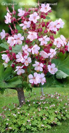 Géranium vivace rhizomateux 'Spessart' Plante tapissante, portant, en début d'été, des fleurs blanches à centre rosé. Les feuilles semi-persistantes, protègent le sol des adventices et prennent des teintes automnales lumineuses (de plus, elles sont aromatiques). C'est le plus vigoureux, le plus odorant, le plus facile à cultiver. Un bon sol riche et frais et il recouvrira tous les moindres recoins!