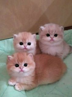 catlovers cutecats_oftheworld cats_of_day catstagram cat catoftheday catsoftheday cats_today catsinsinks catsagram Cute Baby Cats, Cute Funny Animals, Funny Animal Pictures, Cute Baby Animals, Animals And Pets, Kittens And Puppies, Cute Cats And Kittens, Cutest Kittens Ever, Exotic Cats