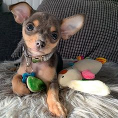 A Chihuahua mix dog's small size would fit right in your home if its apartment or a small one. Chihuahua Terrier Mix, Chihuahua Breeds, Chihuahua Puppies, Dog Breeds, Terrier Breeds, Rat Terriers, Dog Crossbreeds, Dog Mixes, Lap Dogs
