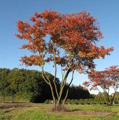 parrotia persica persian ironwood topiary trees. Black Bedroom Furniture Sets. Home Design Ideas