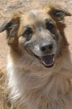 Meet+Modoc,+a+Petfinder+adoptable+German+Shepherd+Dog+Dog+|+Kanab,+UT+|+*SANCTUARY+VISIT+REQUIRED*Modoc+came+to+us+as+a+stray+in+2001+when+he+was+just+a+pup.+He+is+very...