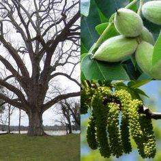 Butternut, (White Walnut) Juglans cinerea, Tree Seeds (Edible, Fall Color, Hardy
