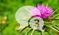 Zkušenosti lidí s Ostropestřcem mariánským - 3. díl Dandelion, Flowers, Plants, Dandelions, Plant, Taraxacum Officinale, Royal Icing Flowers, Flower, Florals