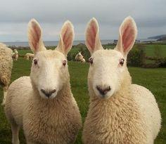 ウサ耳ヒツジ! ボーダーレスター種 http://en.wikipedia.org/wiki/Border_Leicester_sheep… コラかと思ったら本物でした pic.twitter.com/ycvRhb8txN