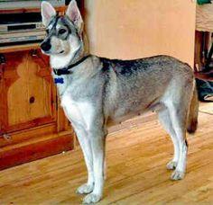 10 Ways to Get Your Dog to Howl - Doggie Desires Utonagan Dog, Tamaskan Dog, Northern Inuit Dog, German Shepherd Facts, Norwegian Elkhound, Stop Dog Barking, Cute Funny Dogs, Companion Dog, Different Dogs