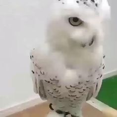 Very fluffy owl -- Cute Funny Animals, Cute Baby Animals, Funny Cute, Animals And Pets, Cute Animal Videos, Funny Animal Pictures, Cute Creatures, Beautiful Creatures, Beautiful Birds
