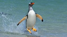 BBC - Earth - Penguin quiz: How many of the 17 species can you name?