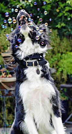 Scout the Border Collie-Heres another Scout pic-How FUN!! – Funny Dog Top