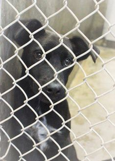 08/01/14~ODESSA SUPER URGENT ~~Lab mix female ~less than a year old ~ Kennel A24 ~let's get this baby out NOW before she gets sick -  Available NOW ****$51 to adopt   Located at Odessa, Texas Animal Control. Must have a valid Drivers License and utility bill with matching address to adopt. They accept Credit Cards, cash or checks. We ARE NOT the pound. We are volunteers who network these animals to try and find them homes. Please send us a PM if we can answer any questions for you.