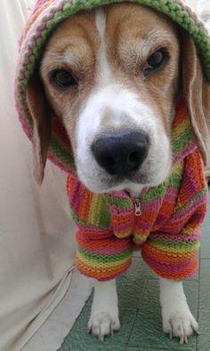BITONTO (BARI): SMARRITO CUKY, CANE BEAGLE TRICOLORE http://terzobinario.blogspot.it/2015/04/bitonto-bari-smarrito-cuky-cane-beagle.html