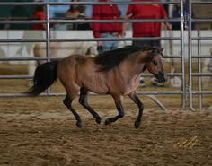 This is YOUR chance to add a World Champion Country pleasure driving horse to your show string! And offering a substantial discount to a youth show home! Offered by Mini Horse Sales