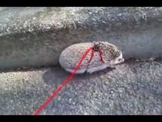 Have you ever put a hedgehog on a leash?