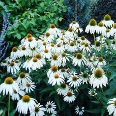 Shop for White Coneflower / Echinacea Seeds by the Packet or Pound.Com offers Hundreds of Seed Varieties, Including the Finest and Freshest White Coneflower / Echinacea Seeds Anywhere. Flowers For Butterflies, Full Sun Flowers, White Flowers, Summer Flowers, Planting Bulbs, Planting Flowers, Flowers Garden, Long Blooming Perennials, Cottage Garden Plants