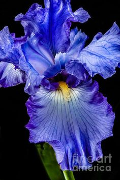 Iris.  Lots of them at Seven Creeks.  Also in White.