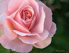 Rosa rosa by Jose Antonio Gonzalez Valle on 500px