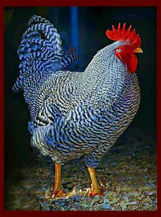 "Incredibly Handsome Barred Plymouth Rock Rooster Photo by Frederick Dunn "" Mr. Crows A Lot"" Best Egg Laying Chickens, Fancy Chickens, Chickens And Roosters, Raising Chickens, Chickens Backyard, Hen Chicken, Chicken Art, Pretty Birds, Humorous Animals"