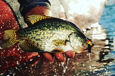 Early spring just after ice-out is primetime for catching big crappies. Chances are you will find them somewhere between their wintering haunts and the areas where they will eventually spawn later in the spring. To help you fully take advantage of this fabulous fishing opportunity we reached out to six of the top pros in the Upper Midwest and asked them how they approach ice-out crappies. #LearnMore - Follow the link in our bio to learn EVERYTHING you need to know about catching early season…