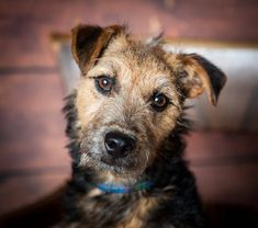 The Lakeland Terrier is a small-sized dog and is originated in England. The dog is said to be a good companion and a watchdog. Cute Birthday Wishes, Happy Birthday Meme, Happy Birthday Pictures, Birthday Gifs, Birthday Greetings, Birthday Cards, Lakeland Terrier, All Dog Image, Beagle