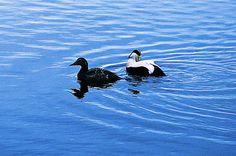 Eider ducks. Ducks, Bird, Animals, Animales, Animaux, Birds, Animal Memes, Animal, Animais