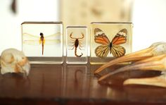 Insects in resin. Mandibles, Cape Town.