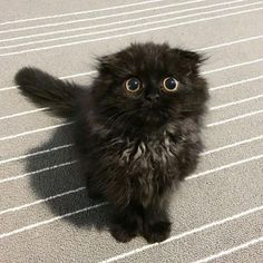 Gimo, fluffy cat with BIG eyes