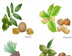 """Check out new work on my @Behance portfolio: """"Four nuts with plant and peeled kernel part two"""" http://be.net/gallery/52434299/Four-nuts-with-plant-and-peeled-kernel-part-two"""