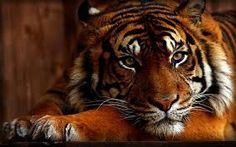 DIY Animal Tiger Diamond Painting Cross Stitch Diamond Mosaic Resin Home Decor Painting Art Diamond Embroidery Crafts Tiger Wallpaper, Images Wallpaper, Wallpapers, Animal Espiritual, Tiger Images, Tiger Pictures, Desktop, 5d Diamond Painting, Bengal Tiger