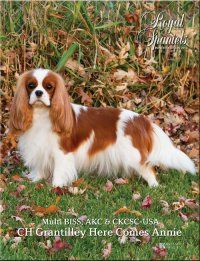 The Royal Spaniels Magazine about Cavalier King Charles and English Toy Spaniels Cavalier King Charles, King Charles Cocker Spaniel, King Charles Dog, Cocker Spaniel Dog, Beautiful Dog Breeds, Beautiful Dogs, Animals Beautiful, Cute Animals, Dog Breeds List
