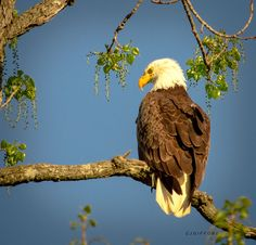 Male Bald Eagle by Connie  Gifford on 500px
