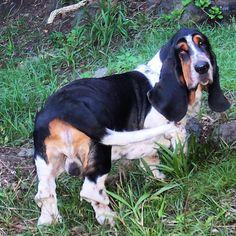 City of Honolulu Bassett Hound, Bliss, Dogs, Animals, Lovers, Animales, Animaux, Pet Dogs, Basset Hound
